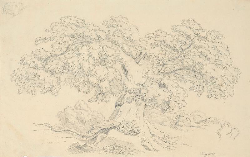 Bedřich Silva Tarouca - Studie starého stromu