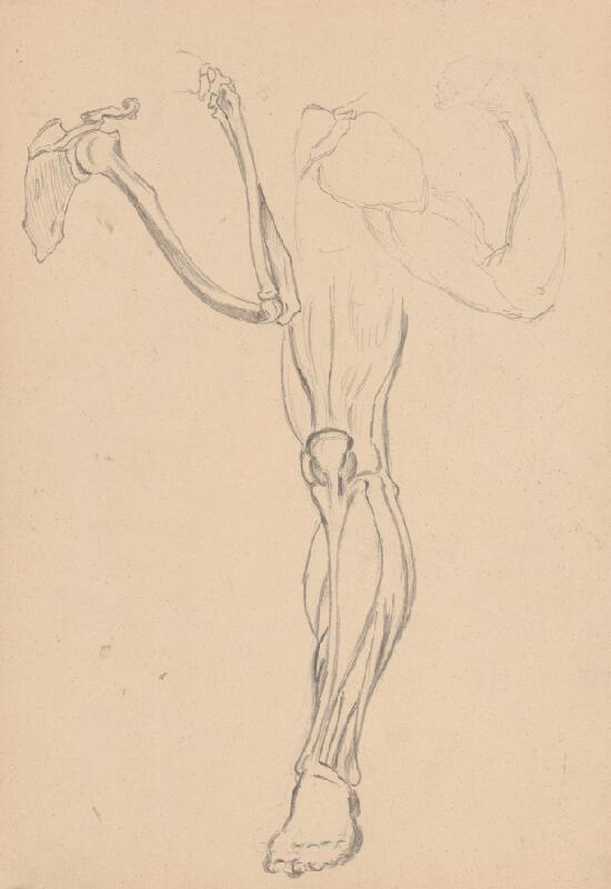 Ján Fadrusz - Štúdia kostry a svalstva ruky a nohy