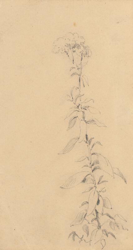 Friedrich Carl von Scheidlin – Štúdia rastliny
