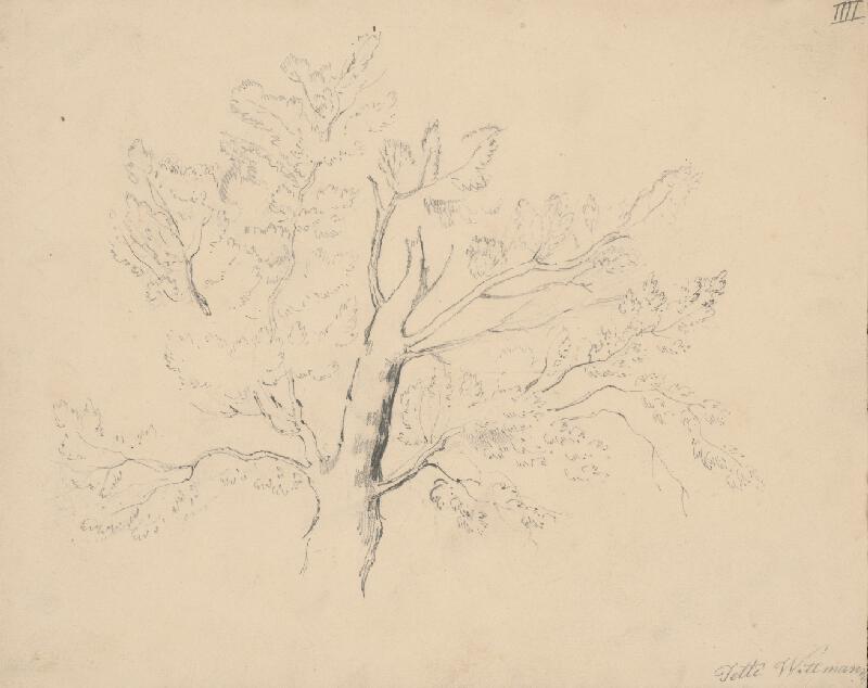Henriete Jetti Wittmannová - Štúdia listnatého stromu