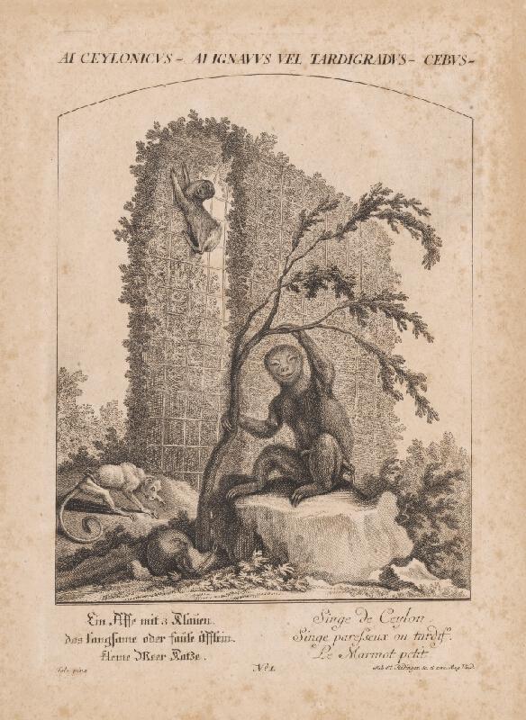 Johann Elias Ridinger, Jele - Ai Cejlonicus