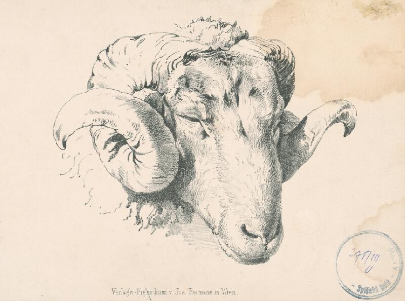 Stredoeurópsky autor z 2. polovice 19. storočia - Štúdia hlavy barana