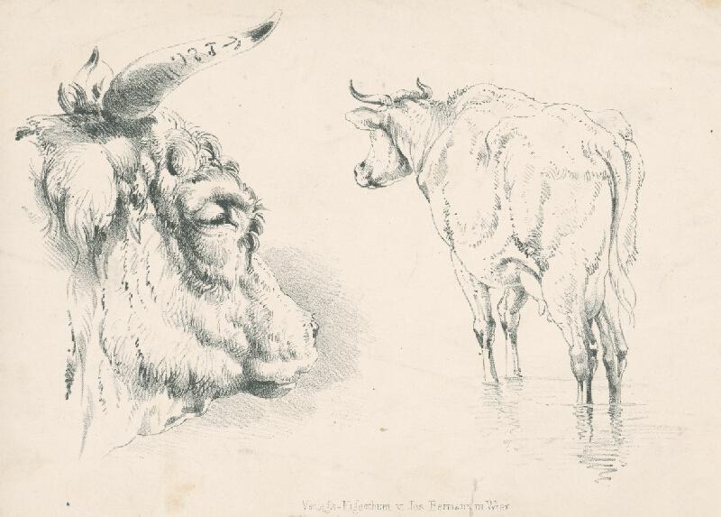 Stredoeurópsky autor z 2. polovice 19. storočia - Štúdie kravy